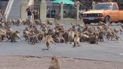 Honderden uitgehongerde apen vechten voor voedsel