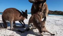 Of Course You Can Hang Out At This Australian Beach With Kangaroos