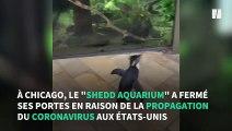 Coronavirus: aux États-Unis, un pingouin profite de l'épidémie pour visiter un aquarium
