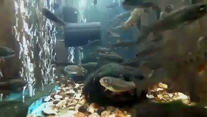 EPCAMR's Rainbow Trout Tank 03/17/2020