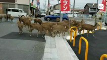 A handful of deer stroll into Nara city, Japan, looking for food
