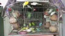Small Parrots of many numbers at Rawalpindi // Small Parrots like birds // Amazing Colorful Parrots (Budgerigar)