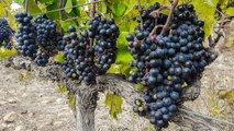 How wine is made in Cape Town's Constantia Valley