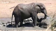 African elephant enjoys mud bath on blistering day in South Africa