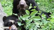 These Rare Bears Are Thriving By Feasting On Wild Avocados