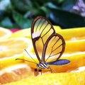 Les ailes de ce papillon sont transparentes
