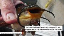 Scientists Found Something Strange About Fish Near Niagara Falls