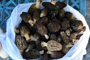 Bağışıklık sistemini güçlendiren kuzugöbeği mantarının kilosu 150 liradan satılıyor