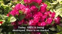 'It's not rosy': Kenya's flowers rot amid virus slowdown