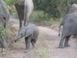 Cet éléphanteau se prend pour le boss de la savane