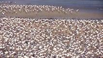 With Humans Under Lockdown, Birds Reclaim Lima's Beaches