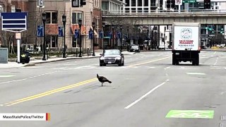 Wild Turkey Spotted Taking A Stroll In Boston's Empty Urban Jungle