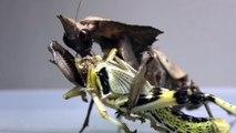 Cette mante religieuse dévore une sauterelle en entier !