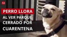 Perrito llora al ver el parque cerrado por cuarentena en España