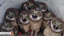 What's Up With The Owls In This Viral Image?