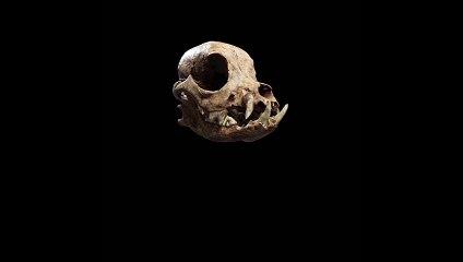 Los romanos ya tenían perros miniatura como animales de compañía hace más de 2.000 años