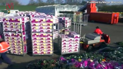 Coronavirus Pandemic Causes Dutch Flower Industry to Wither Away