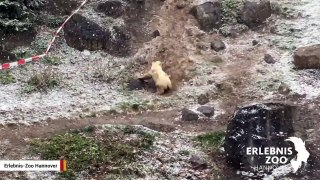 Polar Bear Cub Goes Nuts After Seeing Snow For First Time