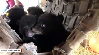 Meanwhile, Black Bear Cubs Are Hanging out In A Hammock