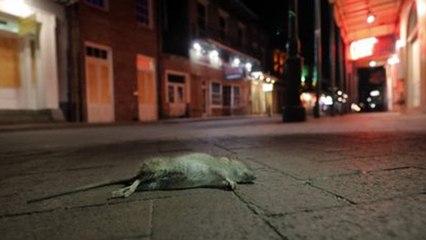 Sau lệnh phong tỏa, chuột tràn ra khắp đường phố New Orleans