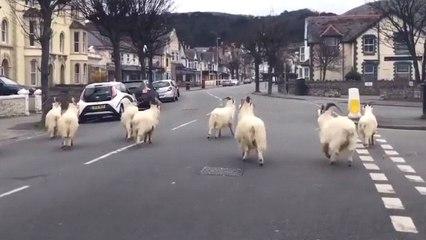 Geiten nemen stad in Wales over tijdens Lockdown in V.K.