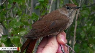 Climate Change Has Clipped Nightingales' Wings: Study