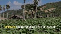 Coronavirus: la piste d'un vaccin composé de feuilles de tabac