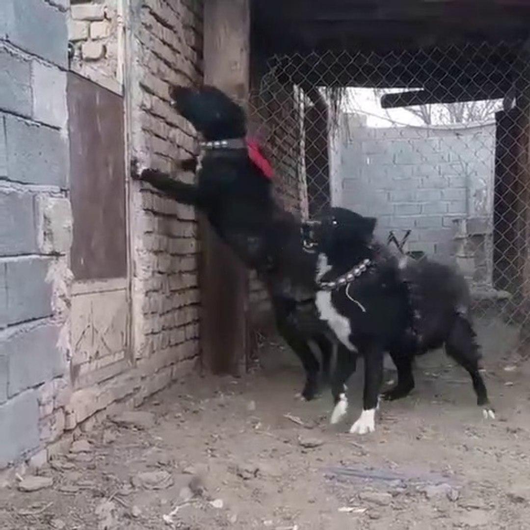 iRAN SARABi COBAN KOPEKLERiNi KIZDIRMACA - ANGRY iRANiAN SARABi SHEPHERD DOGS