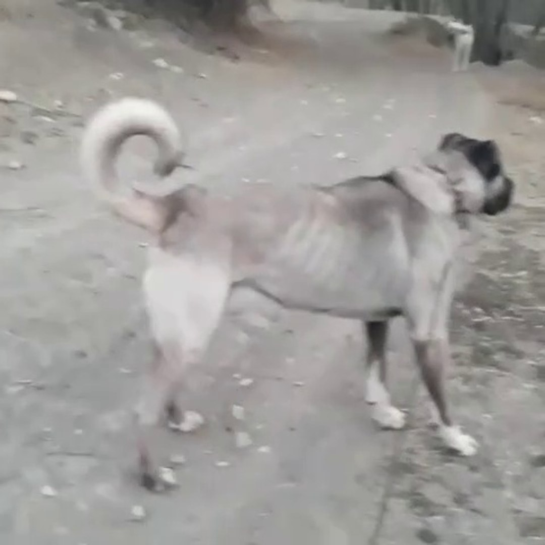 ANADOLU COBAN KOPEGi ASAYiS GOREViNDE - GiANT ANATOLiAN SHEPHERD DOG