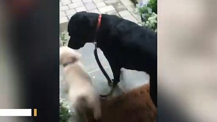 Dog Insists On Taking Another Dog For A Walk Amid Coronavirus Lockdown