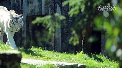 Voici les bébés tigres blancs du zoo d'Amnéville