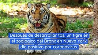 Tigre en el zoológico de Nueva York da positivo por coronavirus