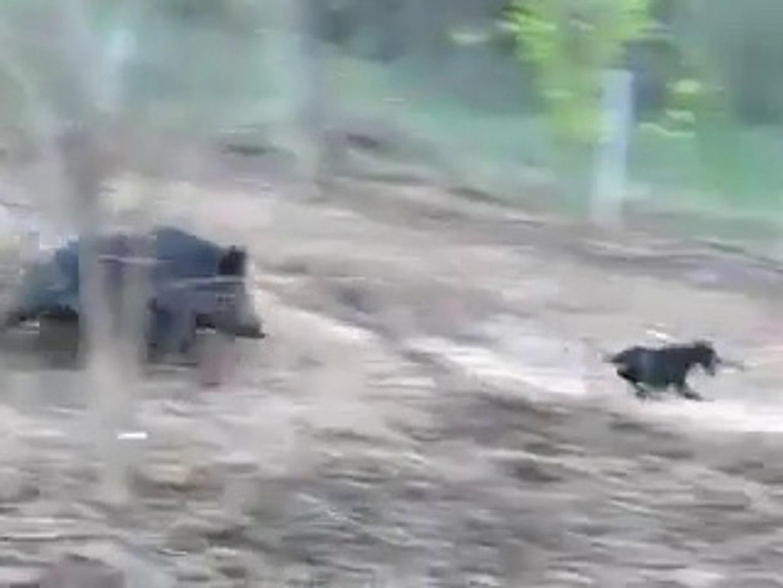 KOMiK SUS KOPEGi vs DOMUZ - FUNNY FANCY DOG vs PiG