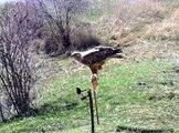 Nesli tükenmekte olan kızıl kuyruklu şahin, Erzincan'da ortaya çıktı