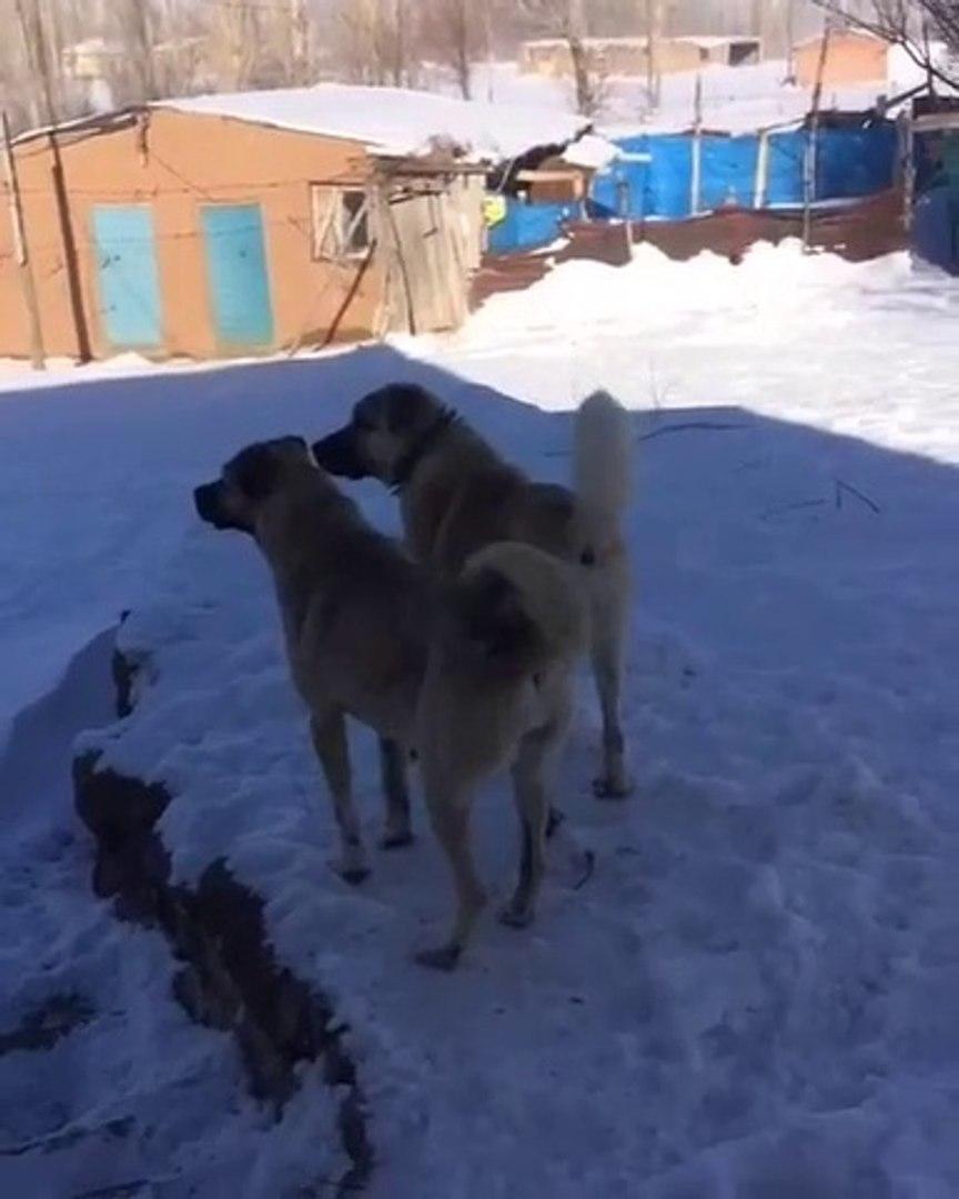 KANGALLAR KAR KEYFi - KANGAL SHEPHERD DOGS and SNOW