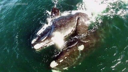 El apareamiento de las ballenas francas