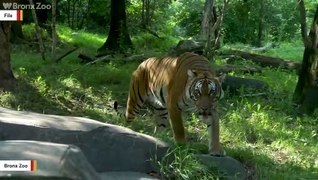 Coronavirus: Four More Tigers And Three Lions Test Positive At Bronx Zoo