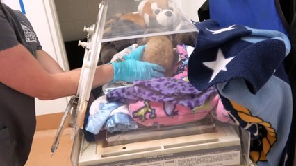 Tiny Red Panda Cub Overcomes Health Issues with a Little Help