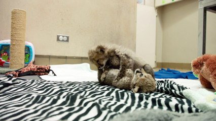 Curious 6-Week-Old Cheetah Cubs Wrestle and Play at Zoo Nursery