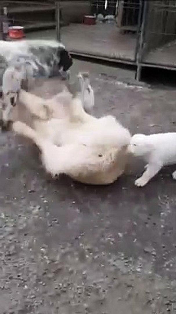KOMiK ALABAY YAVRUSU VS - FUNNY ALABAi SHEPHERD DOG PUPPY VS