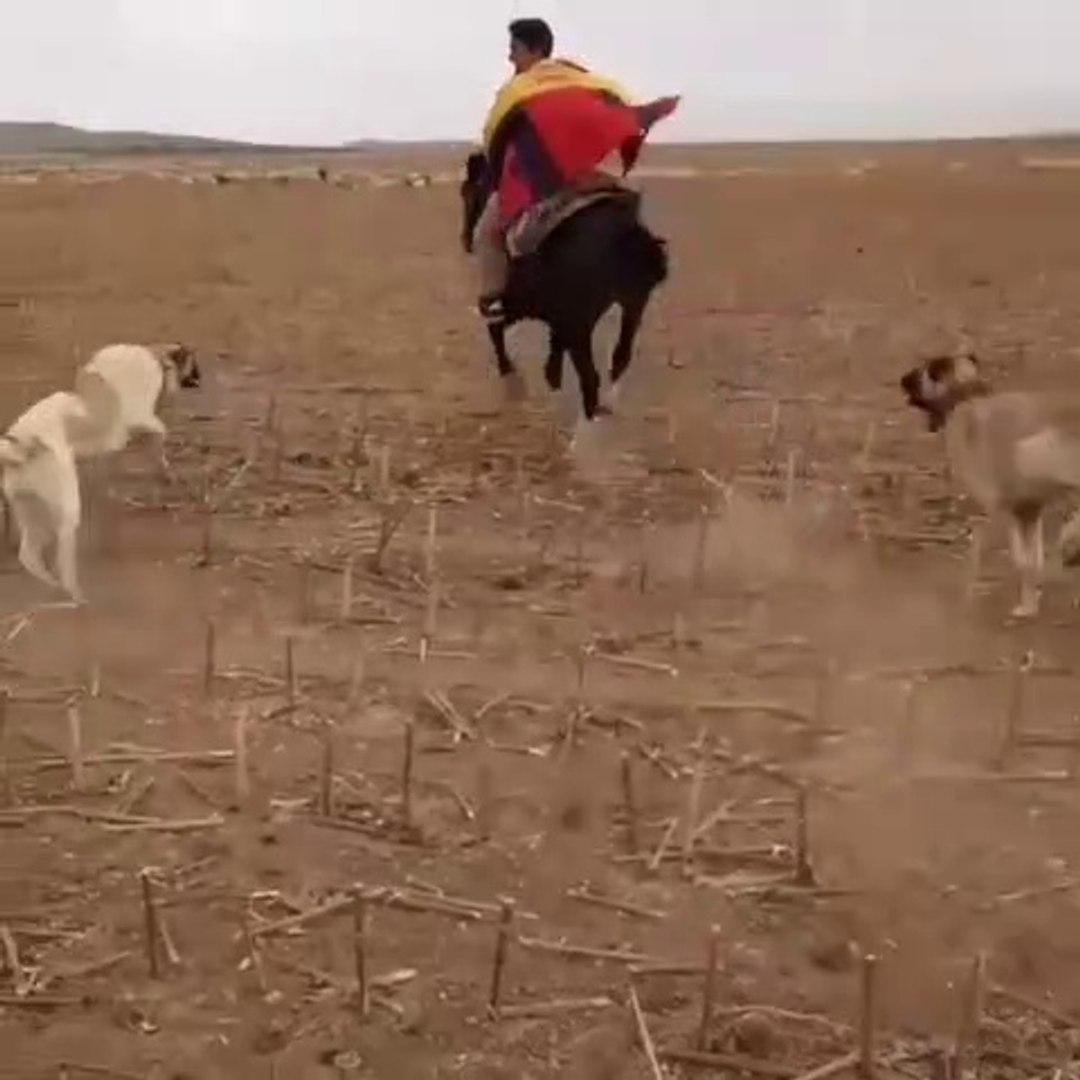 KANGALLAR COBAN KOPEKLERi AT KOVALARSA - KANGAL and ANATOLiAN SHEPHERD DOGS HORSE