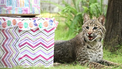 Bobcat Celebrates His First Birthday!