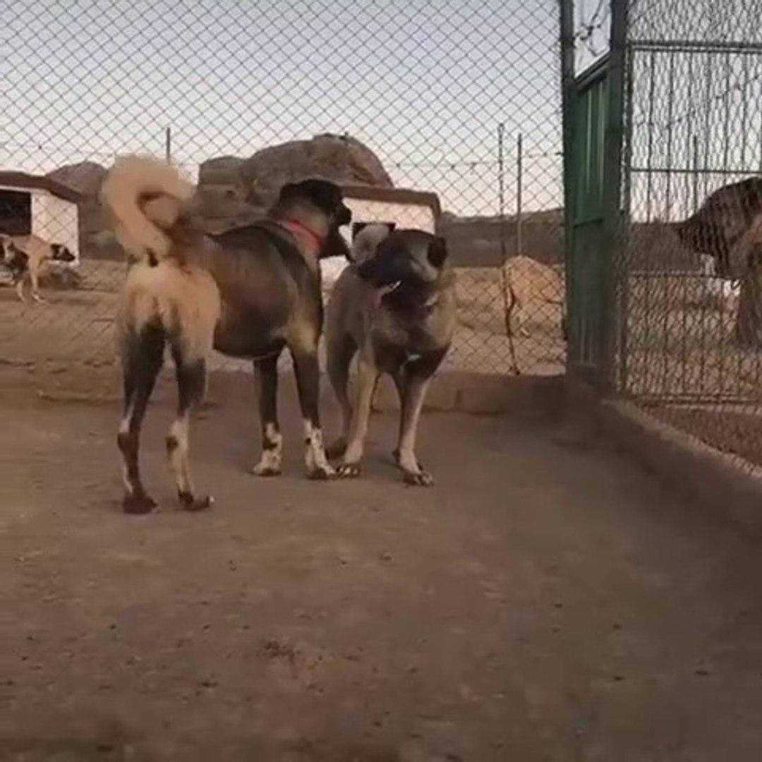 KANGAL KOPEK CiFTLiGiNDEN KARABAS KANGALLAR- KANGAL SHEPHERD DOGS FARM
