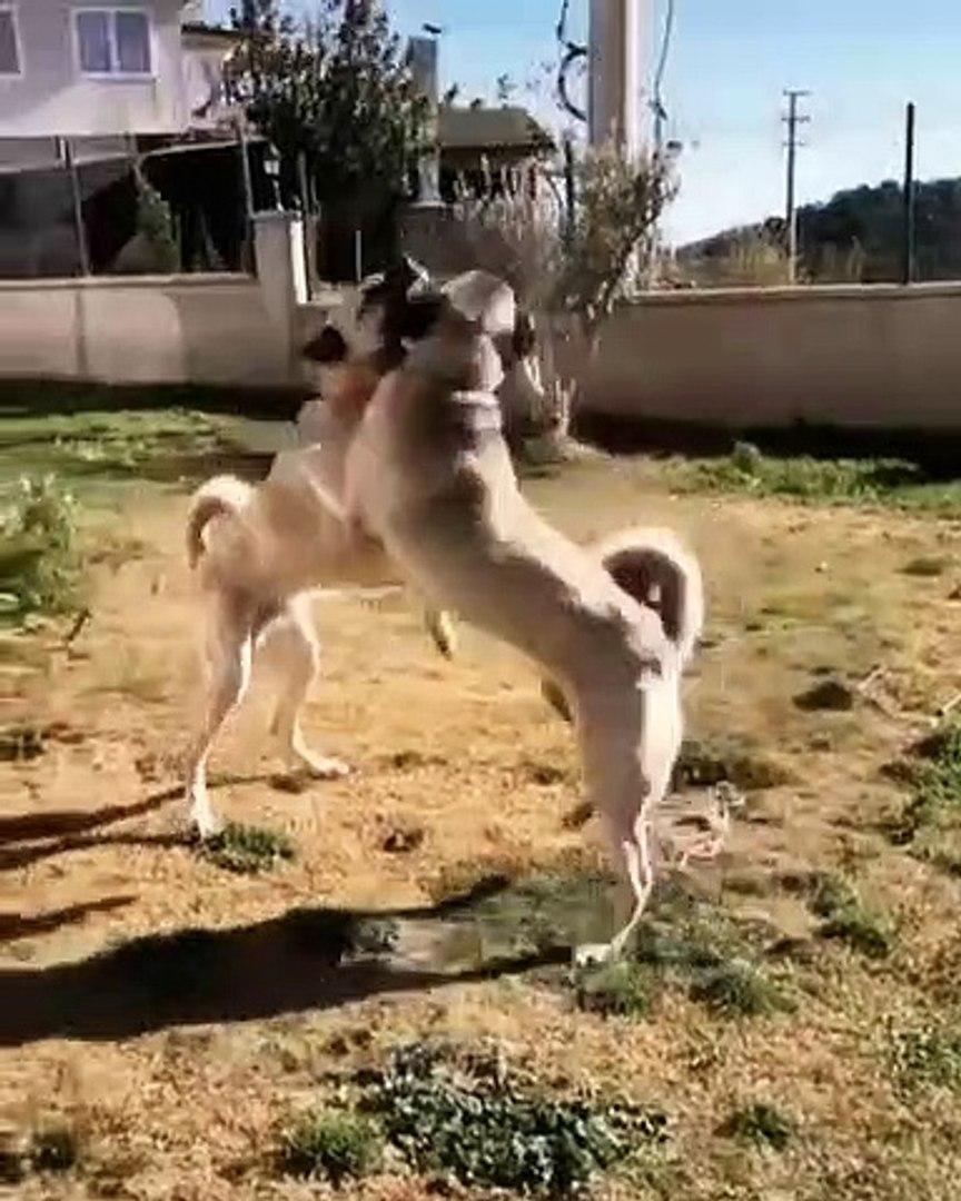 KANGAL KOPEKLERiNDEN SERT OYUN - KANGAL SHEPHERD DOGS VS