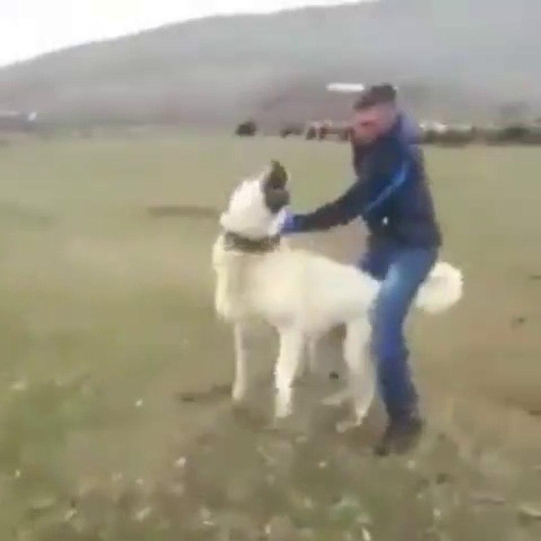 ANADOLU ASLANI ZOR ZAP OLUYOR - GiANT ANATOLiAN SHEPHERD DOG