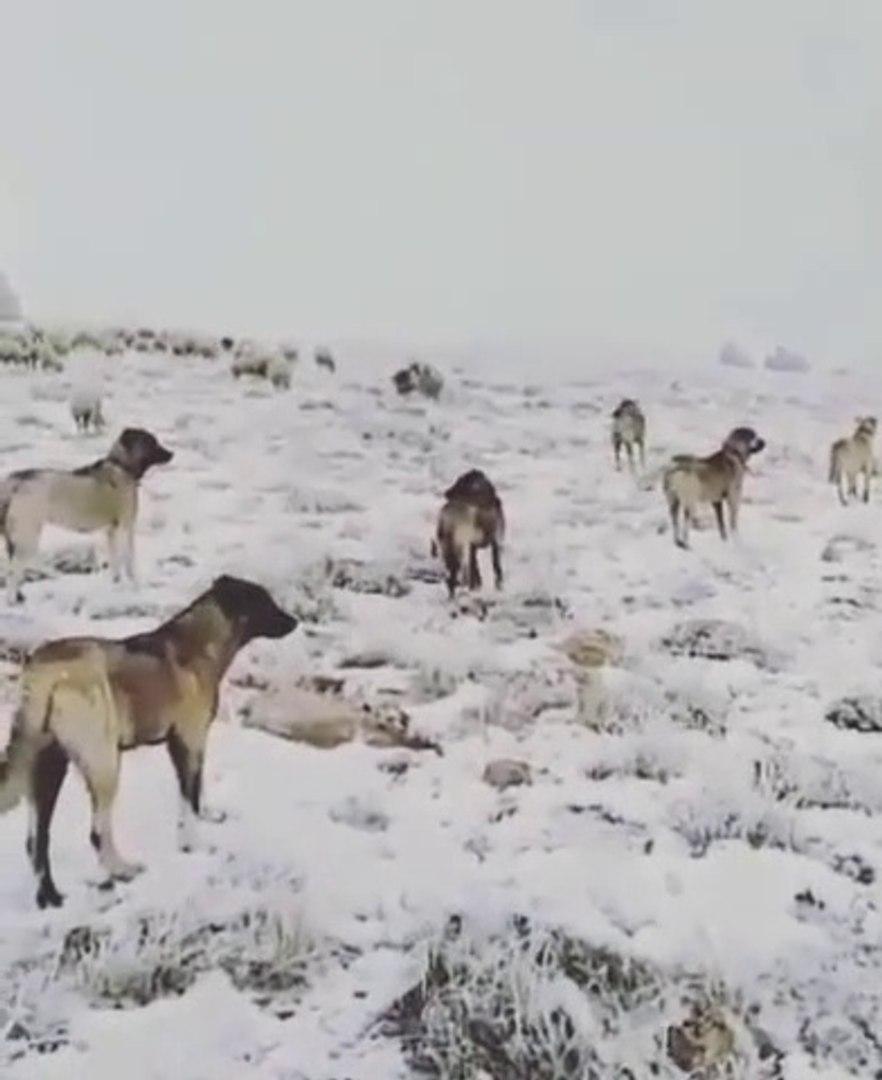 SiVAS KANGAL KOPEKLERi KURDA AMAN VERMiYOR - KANGAL DOG at WOLF GUARD