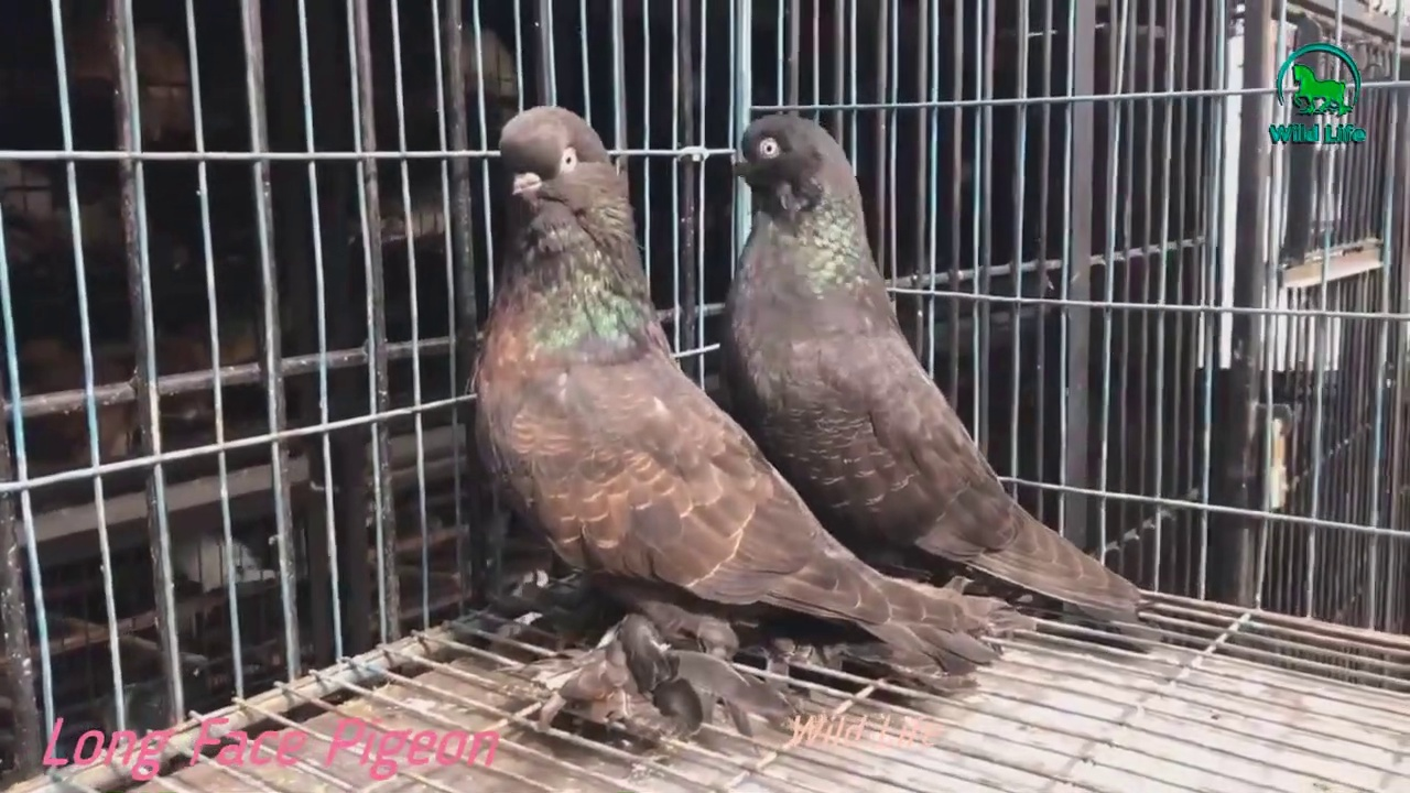 Fancy Pigeon Breeds – Frillback Pigeon, Pouter Pigeon, Owl Pigeon, WhiteHouse Pigeon & Budapest Highflyer Pigeon