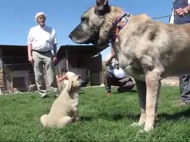 KANGALLAR ve KANGAL KOPEK CiFTLiGi - KANGAL SHEPHERD DOGS FARM