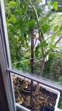 Homegrown Chili Pepper Plants Update