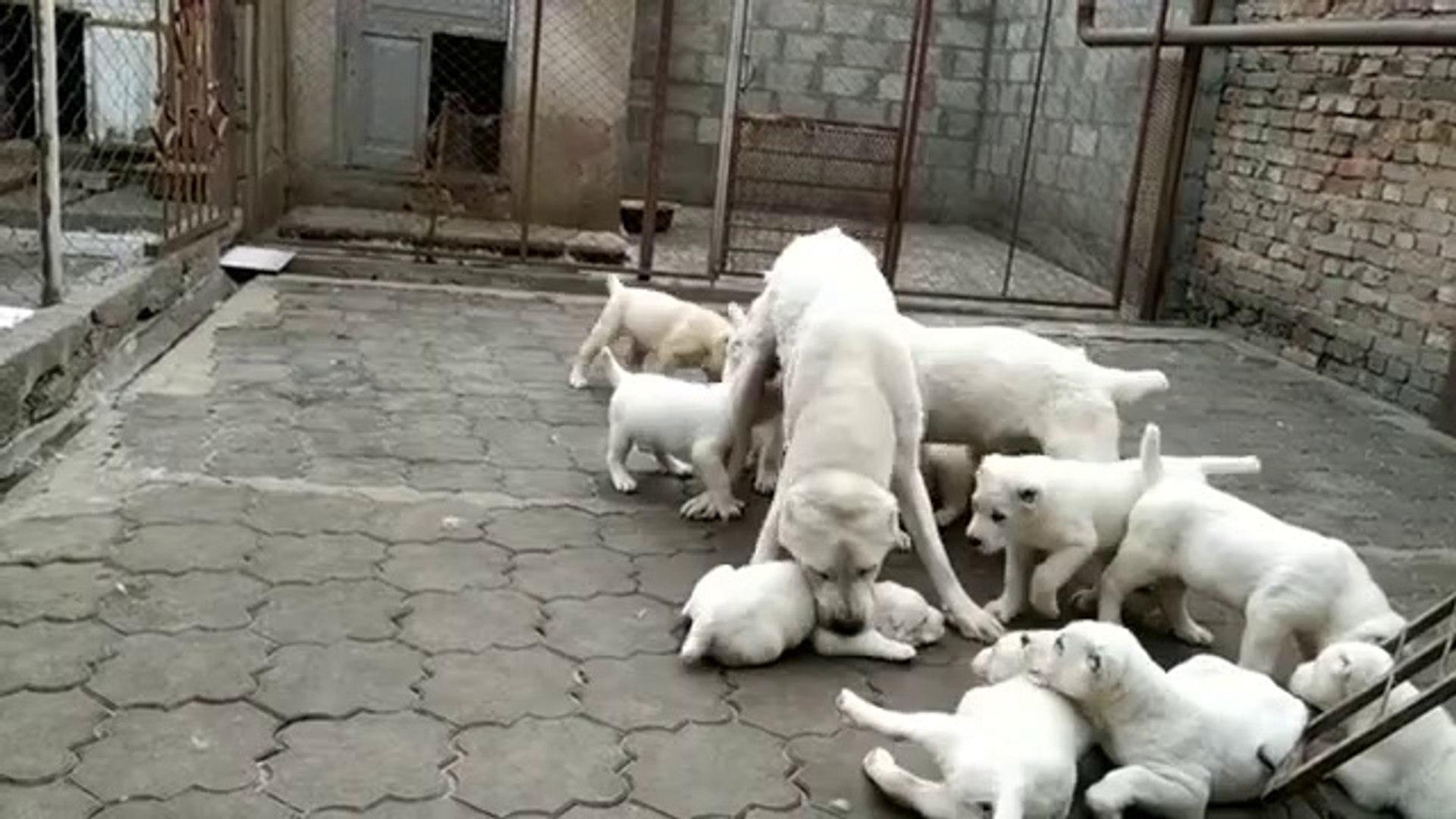 ALABAY YAVRULARININ KAHVALTI YARISI - ALABAi SHEPHERD DOG PUPPiES